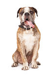 Bulldog Crossbreed Sitting Tongue Out Stock Photography