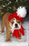 Bulldog del Babbo Natale Fotografia Stock