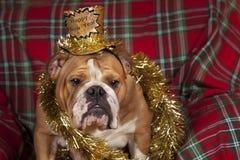 Bulldog del buon anno immagine stock libera da diritti