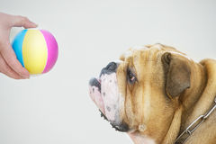 Bulldog del ritratto del cane Immagini Stock Libere da Diritti
