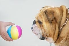 Bulldog del ritratto del cane Immagini Stock