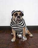 Bulldog dell'uccello della prigione Fotografia Stock