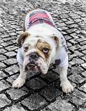 Bulldog di Britsh fotografia stock libera da diritti