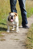 Bulldog di Englisg Fotografia Stock