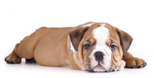 Bulldog di inglese del cucciolo fotografia stock libera da diritti
