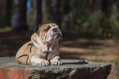 Bulldog di inglese del ritratto Fotografie Stock Libere da Diritti