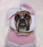 Bulldog di Pasqua Fotografie Stock