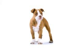 Bulldog di rinascita immagine stock