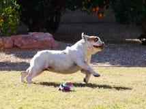 Bulldog disteso in un funzionamento Fotografia Stock