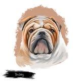Bulldog dog breed isolated on white background digital art illustration. Medium-sized breed of dog English Bulldog or. British Bulldog muscular, hefty dog with royalty free stock images