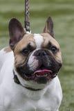 Bulldog dog Stock Photography