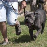 Bulldog at a dog show. Bulldog running beside his master royalty free stock images