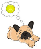 Bulldog dreaming play with ball. Sleeping puppy of beige french bulldog sleeping and wishing to play with tennis ball Royalty Free Stock Images