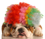 Bulldog dressed as a clown Stock Photography