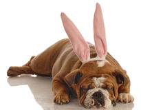 Bulldog dressed as easter bunny Royalty Free Stock Image