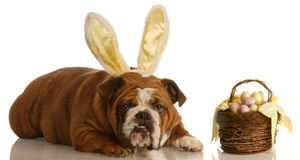 Bulldog dressed as easter bunny Royalty Free Stock Images