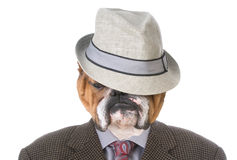 Bulldog dressed like a man Stock Photo