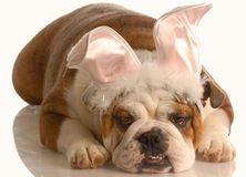 Bulldog dressed up as bunny Royalty Free Stock Photo