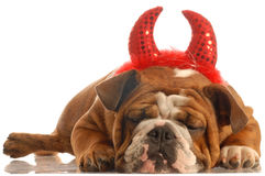 Bulldog dressed up as devil Royalty Free Stock Image