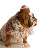 Bulldog dressed up in fur coat Stock Photography