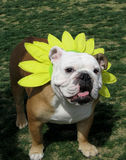 Bulldog dressing as a flower Royalty Free Stock Images