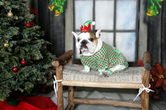 Bulldog elf in his green pajamas Stock Photo