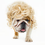 Bulldog Royalty Free Stock Photo