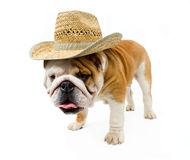 Bulldog Royalty Free Stock Image