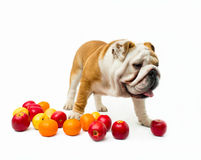 Bulldog Royalty Free Stock Photos