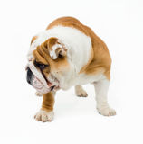 Bulldog Stock Photo