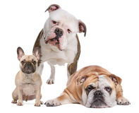 The Bulldog Family Stock Photography