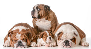 Bulldog family Stock Photos