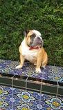 Bulldog in farfallino fotografia stock libera da diritti