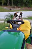 Bulldog Farmer 5 Stock Images