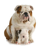 Bulldog father and daughter Royalty Free Stock Image