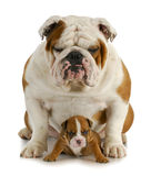 Bulldog father and son stock photo