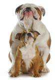 Bulldog father and son Stock Photos