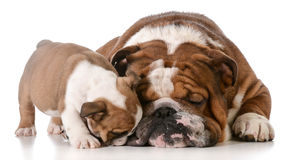 Bulldog father and son Royalty Free Stock Photography