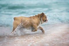 Bulldog felice del cane che funziona al mare Fotografie Stock
