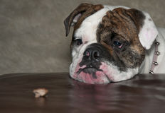 Bulldog, Female Royalty Free Stock Photo