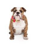 Bulldog femminile con il collare del fiore Fotografia Stock Libera da Diritti
