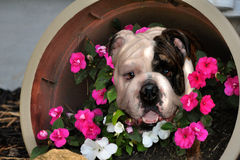Bulldog in Flowers. Bulldog sitting in a big pot of flowers stock photography