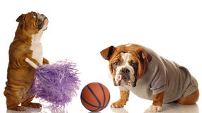 Bulldog football Stock Photography