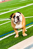 Bulldog on football field Stock Photography