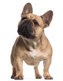 Bulldog francese, 2 anni, levantesi in piedi Immagine Stock Libera da Diritti
