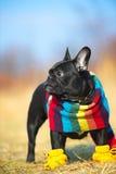 Bulldog francese Fotografie Stock