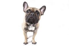 Bulldog francese Immagini Stock