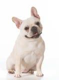 Bulldog francese Immagini Stock Libere da Diritti