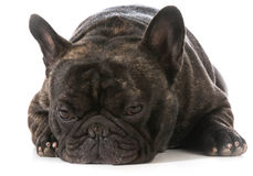 Bulldog francese Fotografie Stock Libere da Diritti