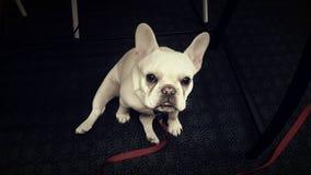 Bulldog francese Fotografia Stock Libera da Diritti